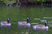 Four Canadian Geese Swimming Along In Pond In Washington