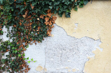 Old Concrete Wall With Peeling Plaster And Climbing Ivy Plant