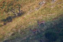 Rothirsch Im Herbst In Den Dolomiten