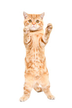 Playful Red Kitten Scottish Straight Standing On His Hind Legs Isolated On A White Background
