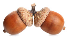 Two Beautiful Brown Acorns On White Background