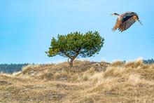 Reiher Fliegt über Eine Düne.