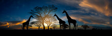 Panorama Silhouette Animal With Giraffe Family And Tree In Africa With Sunset.Tree Silhouetted Against A Setting Sun.Typical African Sunset With Acacia Trees In Masai Mara, Kenya