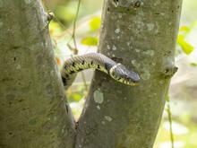 Grass Snake Climbing A Tree