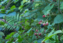 Wild Ripening Blackberries In The Forest