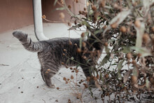 Cute Gray Cat With Brown Eyes Looking At Camera Hiding In Green Bushes Outdoors. Street Fluffy Cat Standing On Asphalt Looking Up. Tabby Kitten Top View. Domestic Animal.