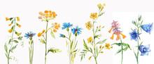 Set Of Watercolor Wildflowers. Illustration Of Meadow Flowers. Tanacetum, Ranunculus,buttercups, Spearworts, Water Crowfoots, Melampyrum Nemorosum, Lathyrus Pratensis, Meadow Vetchling, Centaurea.