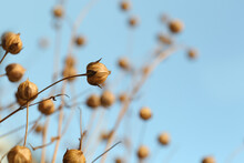 Beautiful Dry Flax Plants Against Blurred Background, Closeup. Space For Text