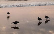 Gulls In Silhouette Along Beach At Pismo Beach.