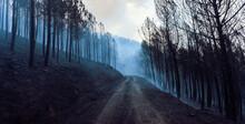 Bosque Después De Un Incendio Forestal, En Galicia, España.  Helicópteros De Bomberos