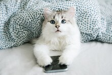 White Cat With Blue Eyes Using Smartphone In Bed