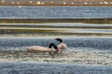 Black-necked Swan, Cygnus Melancoryphus In Buenos Aires, Argentina