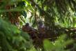 Gołębica z młodymi w gnieździe