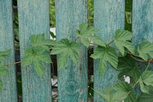 Part Of A Gray Wooden Fence Made Of Planks Overgrown With Green Vegetation
