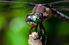 Close Up Of A Blue Eyed Dragonfly