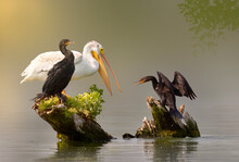 Pelican And Cormorants Drying Out