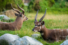The Sitatunga Or Marshbuck (Tragelaphus Spekii) Is A Swamp-dwelling Antelope Found Throughout Central Africa, Centering On The Democratic Republic Of The Congo.