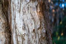 Close Up Of Paperbark Tree Trunk  Textured Bark Peeling Off Australian Tree