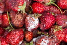 Moldy Rotting Red Strawberries Close Up