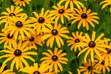 Black Eyed Susan Flowers In The Garden