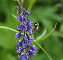 Bumblebee (Bombus Sp.) On Mountain Larkspur (Delphinium Glaucum) Flower