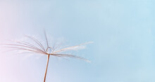 Dew Water Drop On Dandelion Seed, Macrophotography. Fluffy Dandelion Seed With Beautiful Raindrop, Soft Selective Focus.