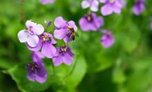 Closeup Shot Of Blooming Purple Orychophragmus Violaceus Flowers