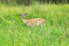 A Female White-tailed Deer Standing In Grasses With Clear Signs Of Growths On Her Ears.