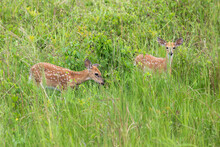 Two White-tailed Deer Fawns Standing In Grasses