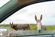 Couple Of Donkeys On Countryside. Horizontal View Of Animals Eating Grazing View From Car Window.