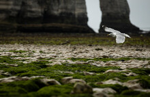 A Seagull Flying In The Beach Of Etretat In France