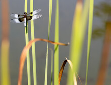 Widow Skimmer Dragonfly Adult Male Perched On Water Grass Stem. Foothills Park, Santa Clara County, California, USA.