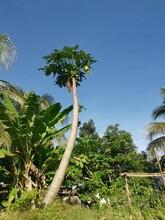 Tall Aged Papaya Tree Against The Deep Blue Sky