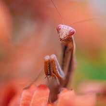 Praying Mantis Of Orange And Brown Tones Perched On A Branch With Orange Leaves