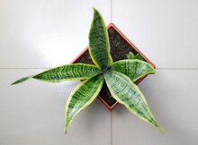 Snake Plant, Mother-in-laws Tongue Or Sansevieria Trifasciata, On White Background Top View