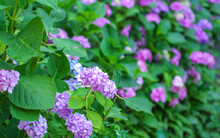 Pink Hydrangea Flowers Close Up