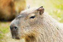 Portrait Of A Capybara. Animal In Close Up. Hydrochoerus Hydrochaeris