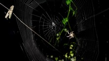 Big Spider Spins Its Web In The Evening In Time Lapse. Crusader Spider Weaves Trap For Flies, Midges, Other Insects. Araneus Diadematus Spinning Orb Webs