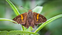 Skipper Butterfly On A Plant