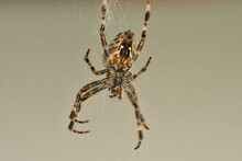 A Garden Spider In Its Web In A Macro