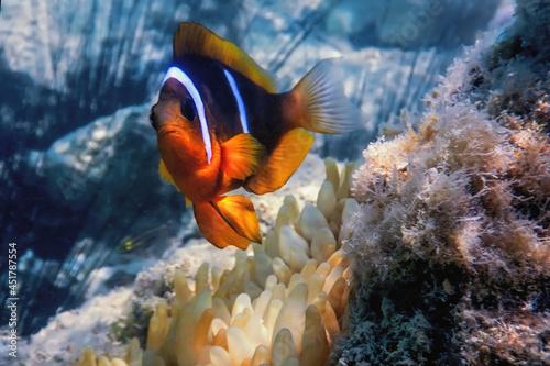 Canvas Print Red Sea clownfish (Amphiprion bicinctus) Red Sea