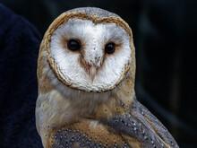 Barn Owl Bird Of Prey Close Up Portrait