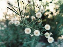 Close-up Shot Of Flowering Conyza Bonariensis (hairy Fleabane)
