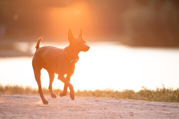 Dog with no fur named Xoloitzcuintle on sunrise in a park