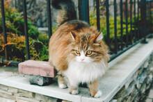 A Fluffy Cat Walks Along The Fence