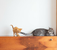 Small Orange Kitty Plays With A Big Grey Cat On A Vintage Wooden Cabinet