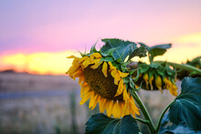 Horizontal Shot Of Dying Sunflowers With Sunset And Clear Skies In The Background