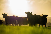 Angus, Wagyu And Murray Grey Beef Bulls And Cows, Being Grass Fed  On A Hill In Australia.