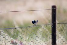 Superb Fairywren Blue Bird Standing On Metal Wire Fencing