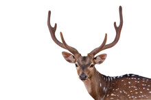 Close Up Picture Spotted Deer,Cute Spotted Fallow Deer Isolated On The White Background.